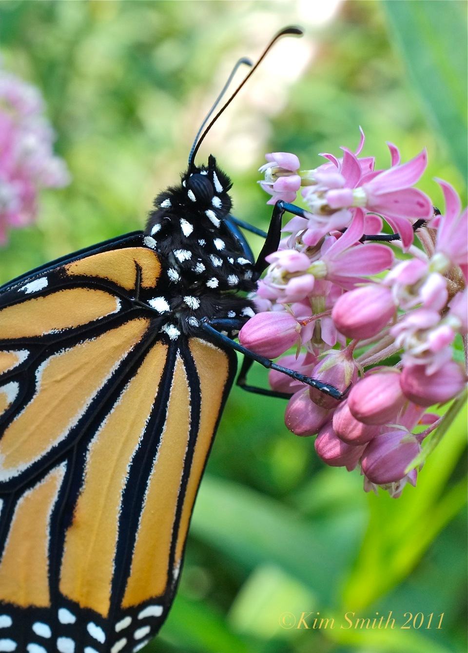monarch-butterfly-marsh-milkweed-kim-smith-2011