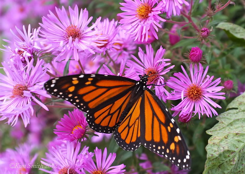 Monarch New England Aster ©Kim Smith 2013