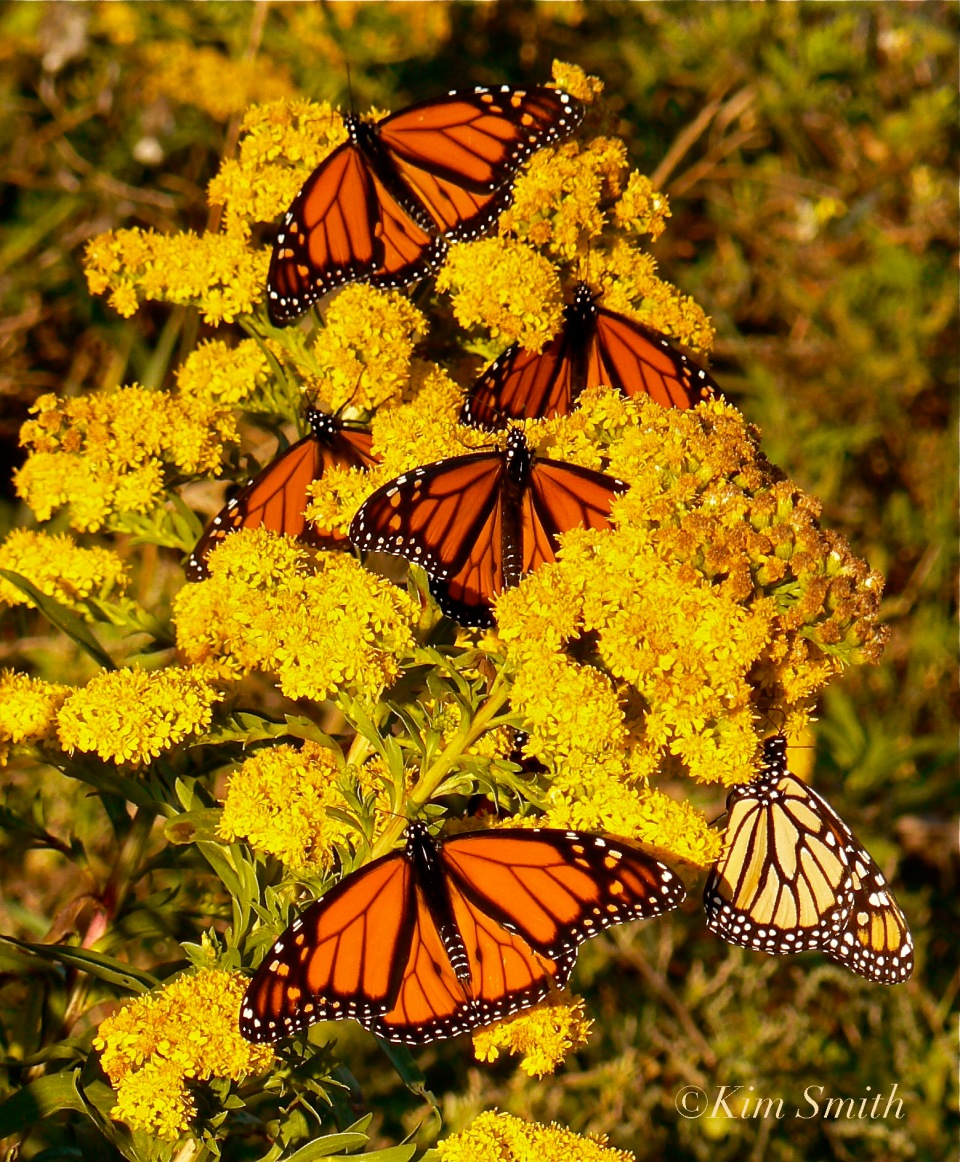 Monarchs Nextaring at Seaside Goldenrod Gloucester ©Kim Smith