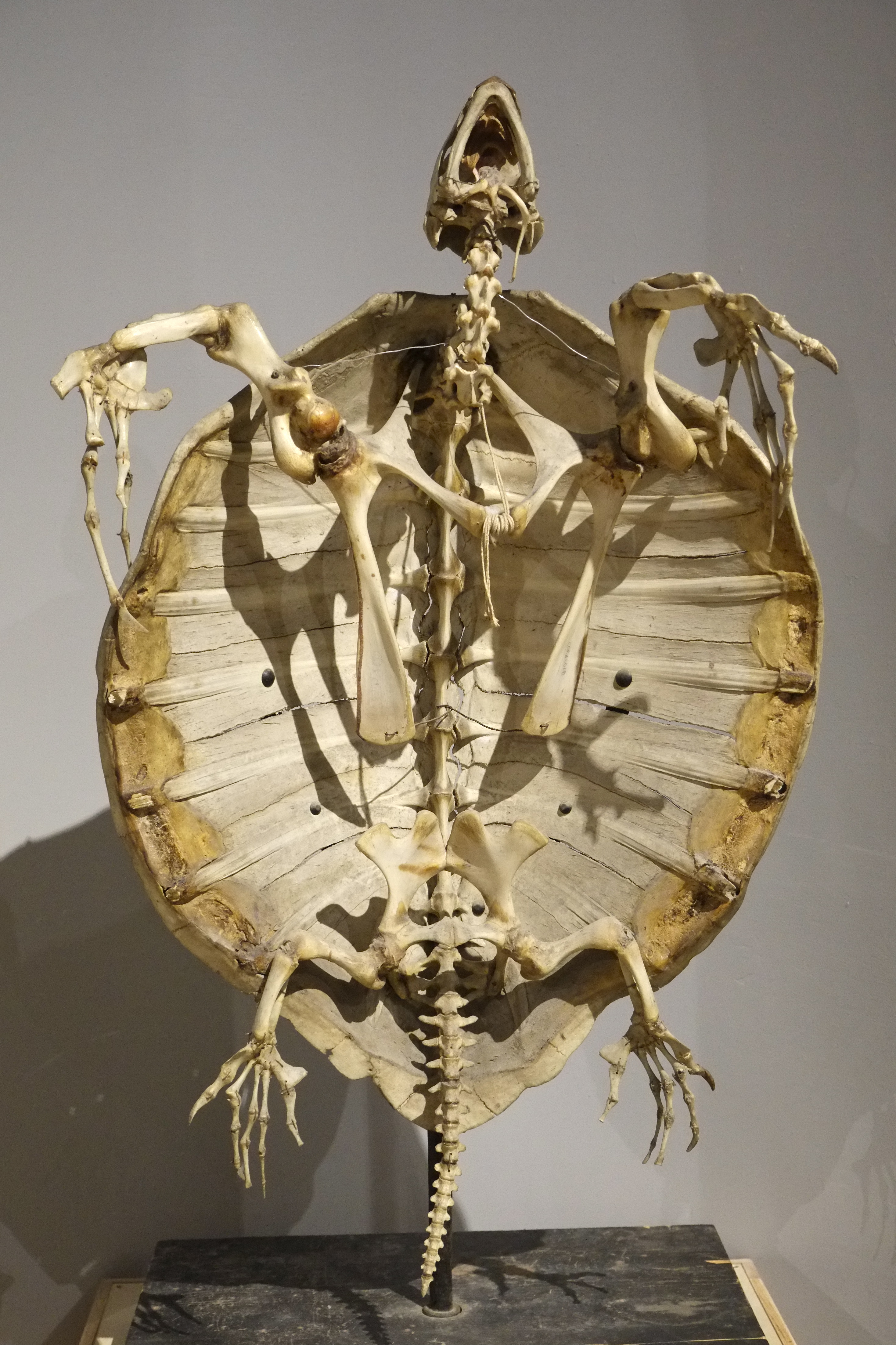 Olive Ridley skeleton ©Kim Smith 2014