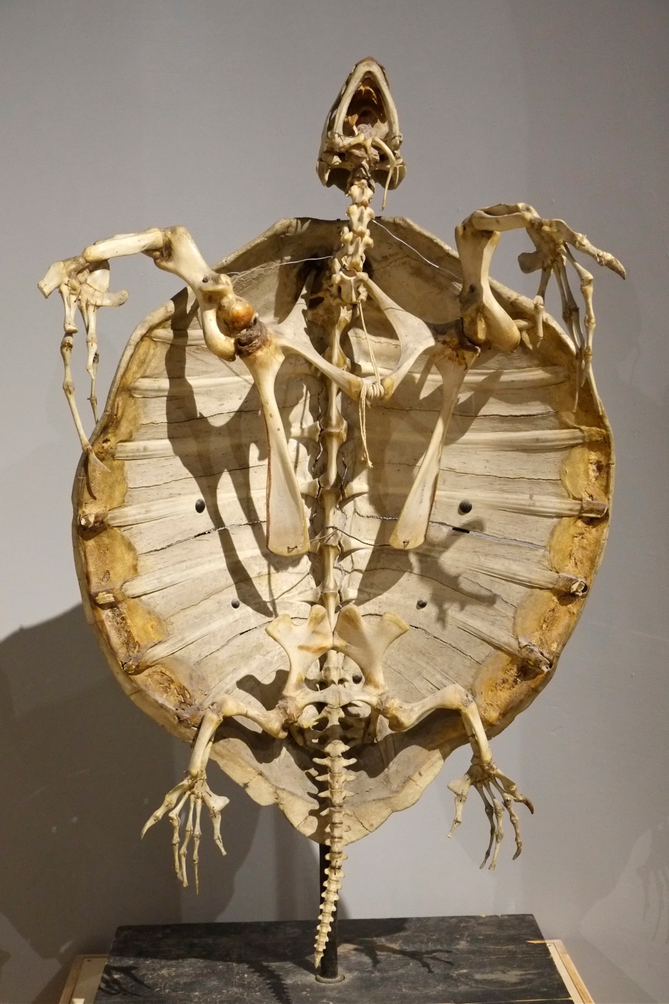 Olive Ridley skeleton ©Kim Smith 2014