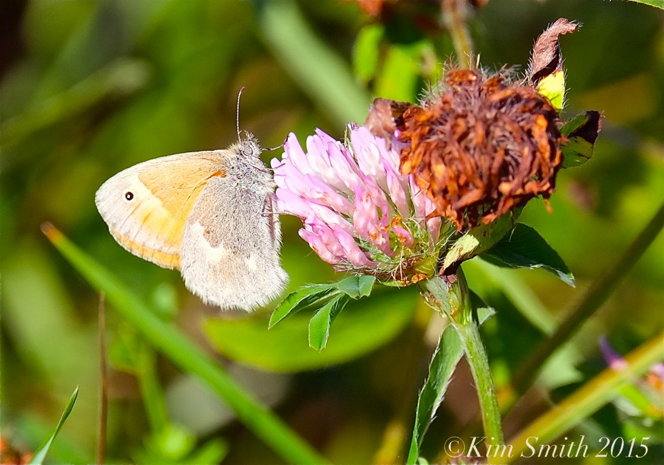 Common Ringlet Butterfly Waring Field Rockport ©Kim Smith 2015