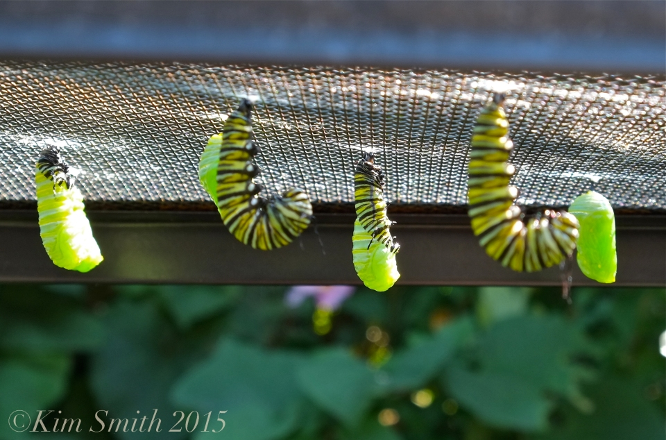 Monarch caterpillars J-shape, pupating ©Kim Smith 2015