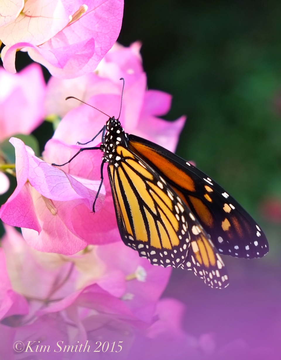 Monarch Butterfly pink bougainvillea ©Kim Smith 2015