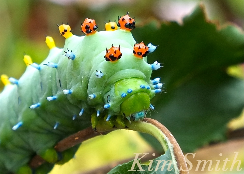 Cecropia Moth caterpillar close up copyright Kim Smith