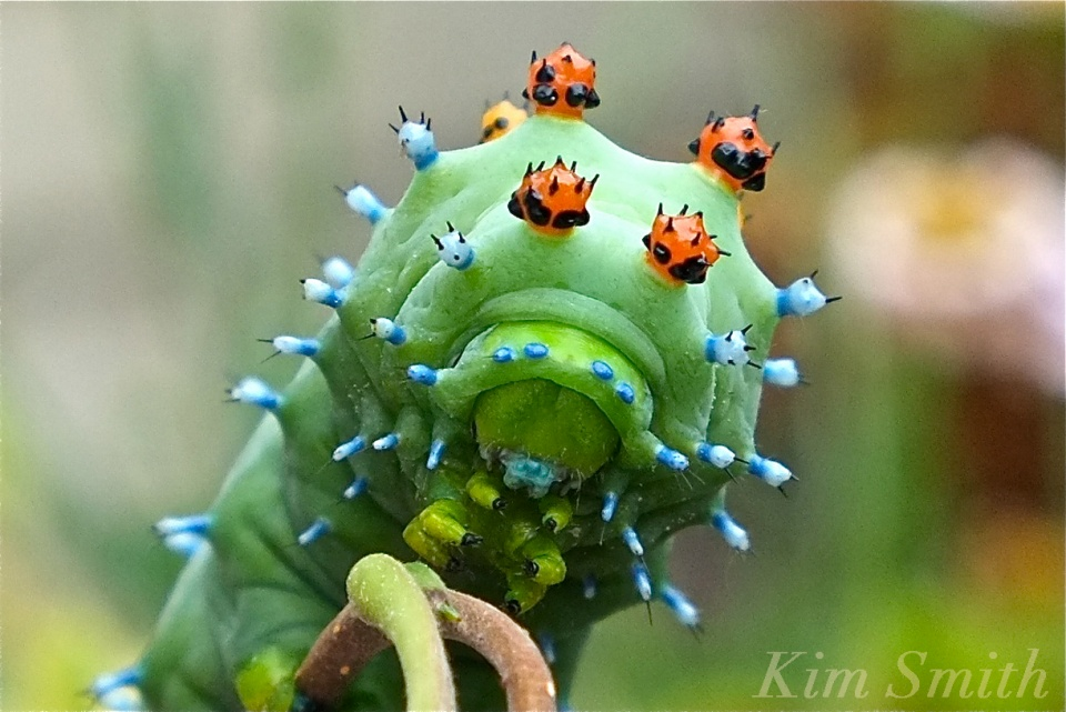 Cecropia Moth Caterpillar last instar copyright Kim Smith