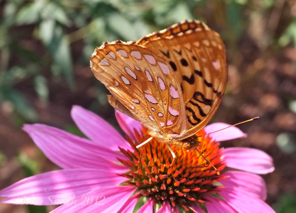 great-spangled-fritillary-coneflower-gloucester-harborwalk-copyright-kim-smith