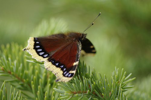 mourning_cloak_butterfly_in_south_central_alaska