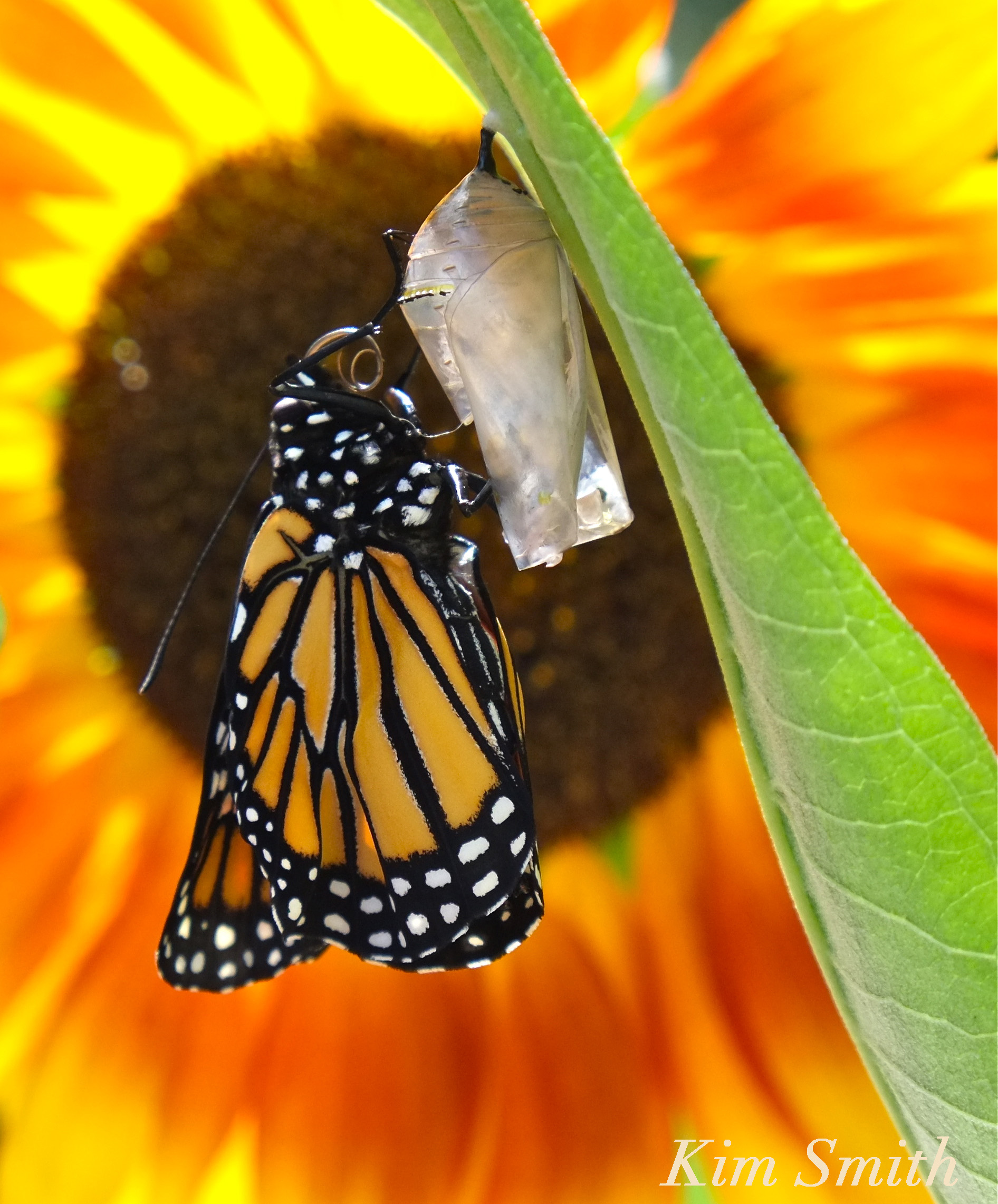 Monarch Butterfly Migration in crisis | Beauty on the Wing | Page 2
