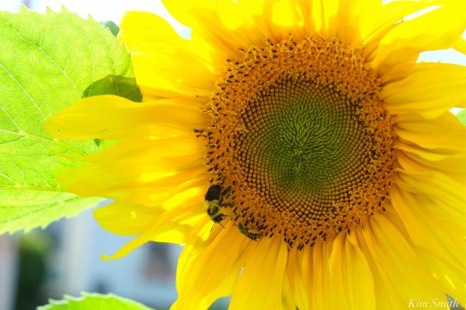 Amy Clayton Sunflower -2 Backyard Growers Incredible Edible Garden Tour copyright Kim Smith