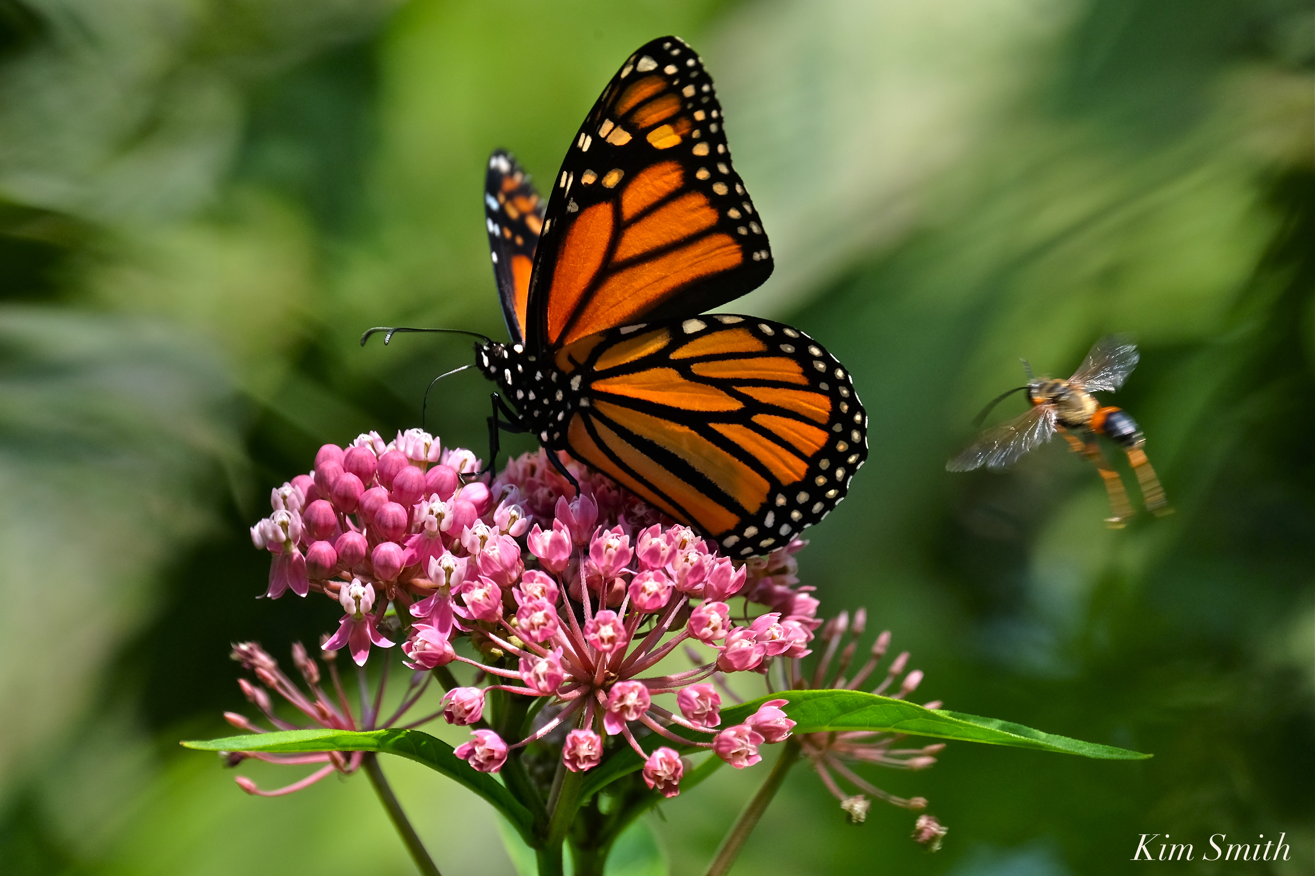 Monarch Butterfly in Crisis | Beauty on the Wing - photo#7