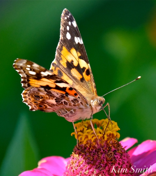 Painted Lady Butterfly Zinnia -2 copyright Kim Smith