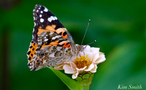 Painted Lady Butterfly Zinniea -6 copyright Kim Smith