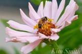 The Mary Prentiss Inn Cambridge Urban Pollinator Garden Honey Bee -2 copyright Kim Smith