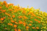 The Mary Prentiss Inn Cambridge Urban Pollinator Garden Mexican Marigolds copyright Kim Smith