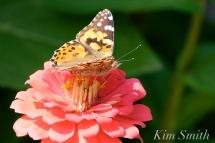 The Mary Prentiss Inn Cambridge Urban Pollinator Garden Painted Lady Butterfly -17 copyright Kim Smith .JPGG