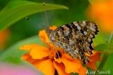The Mary Prentiss Inn Cambridge Urban Pollinator Garden Painted Lady Butterfly copyright Kim Smith