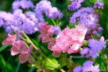 The Mary Prentiss Inn Cambridge Urban Pollinator Garden Pinks copyright Kim Smith