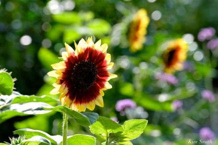 The Mary Prentiss Inn Cambridge Urban Pollinator Garden Sunflowers -3 copyright Kim Smith
