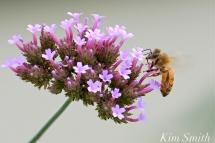 The Mary Prentiss Inn Cambridge Urban Pollinator Garden Verbena Bee copyright Kim Smith