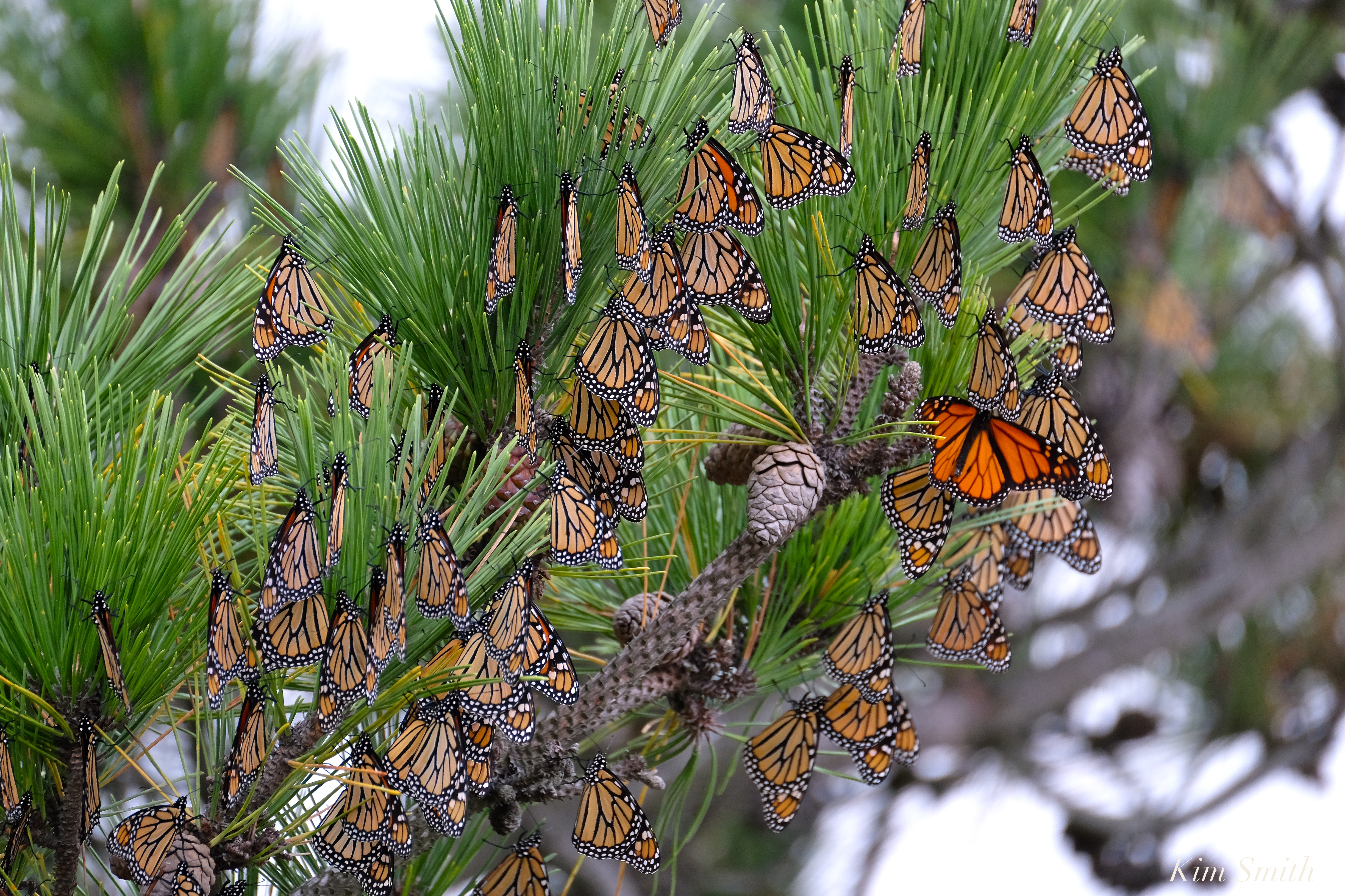 Monarch Butterfly in Crisis | Beauty on the Wing - photo#37
