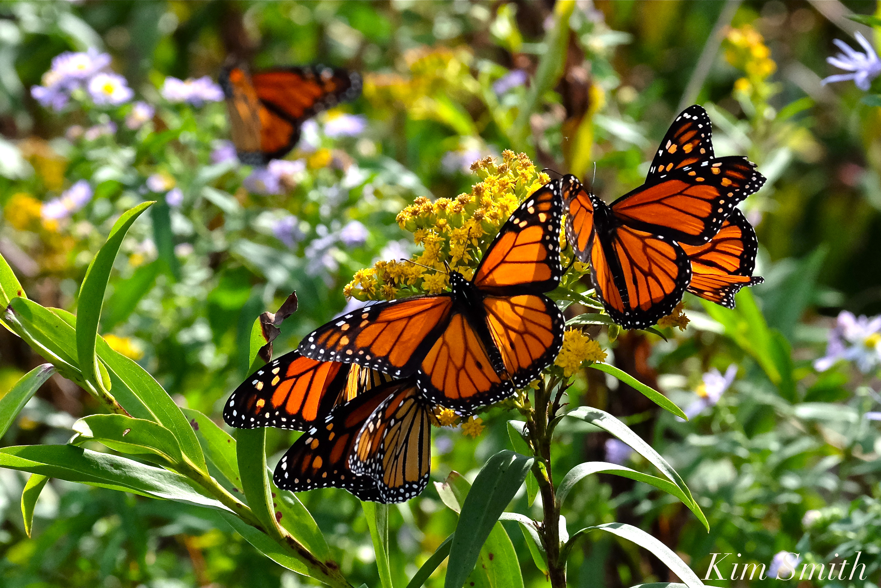 Monarch Butterfly Film | Beauty on the Wing - photo#16