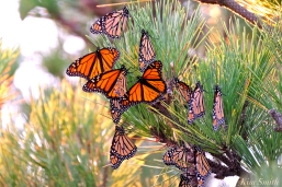 Monarch Butterflies Roosting Japanes Black Pine Stone Harbor Point New Jersey -12 copyright Kim Smith