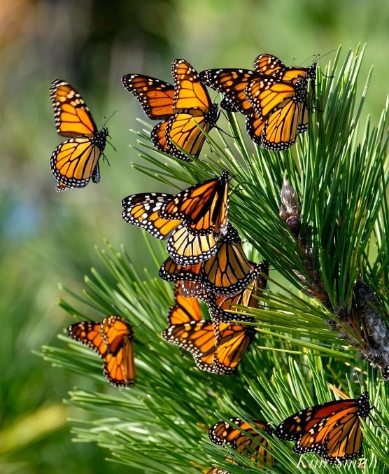 Monarch Roost Stone Harbor Point Black Pine -12 copyright Kim Smith