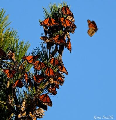 Monarch Roost Stone Harbor Point Black Pine -4 copyright Kim Smith