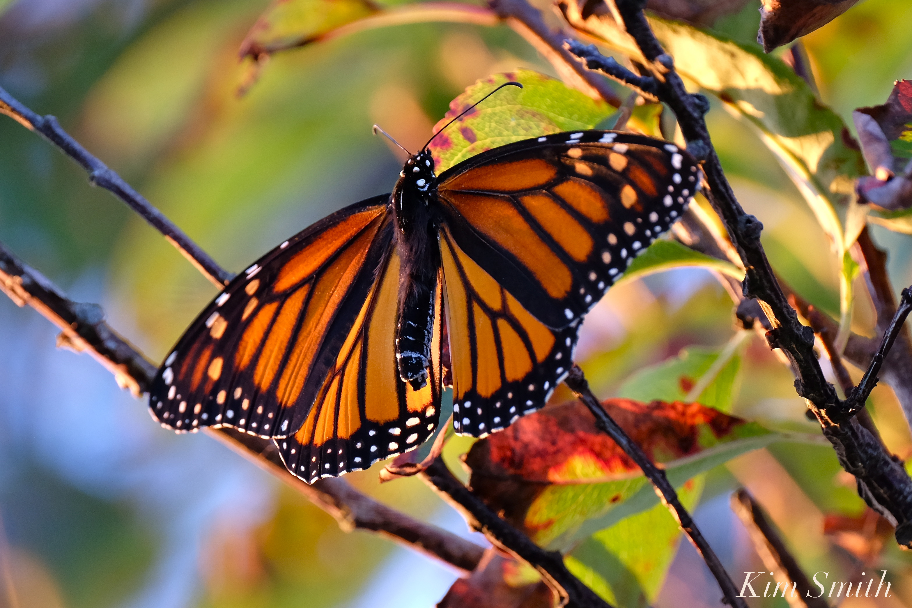 Monarch Butterfly Migration | Beauty on the Wing - photo#49