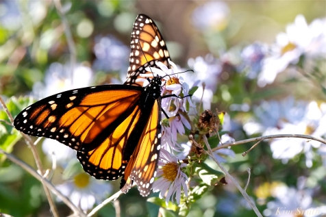 October Monarch Butterflies copyright Kim Smith - 03