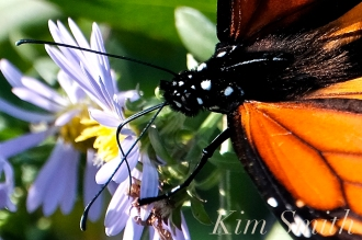 October Monarch Butterflies copyright Kim Smith - 11