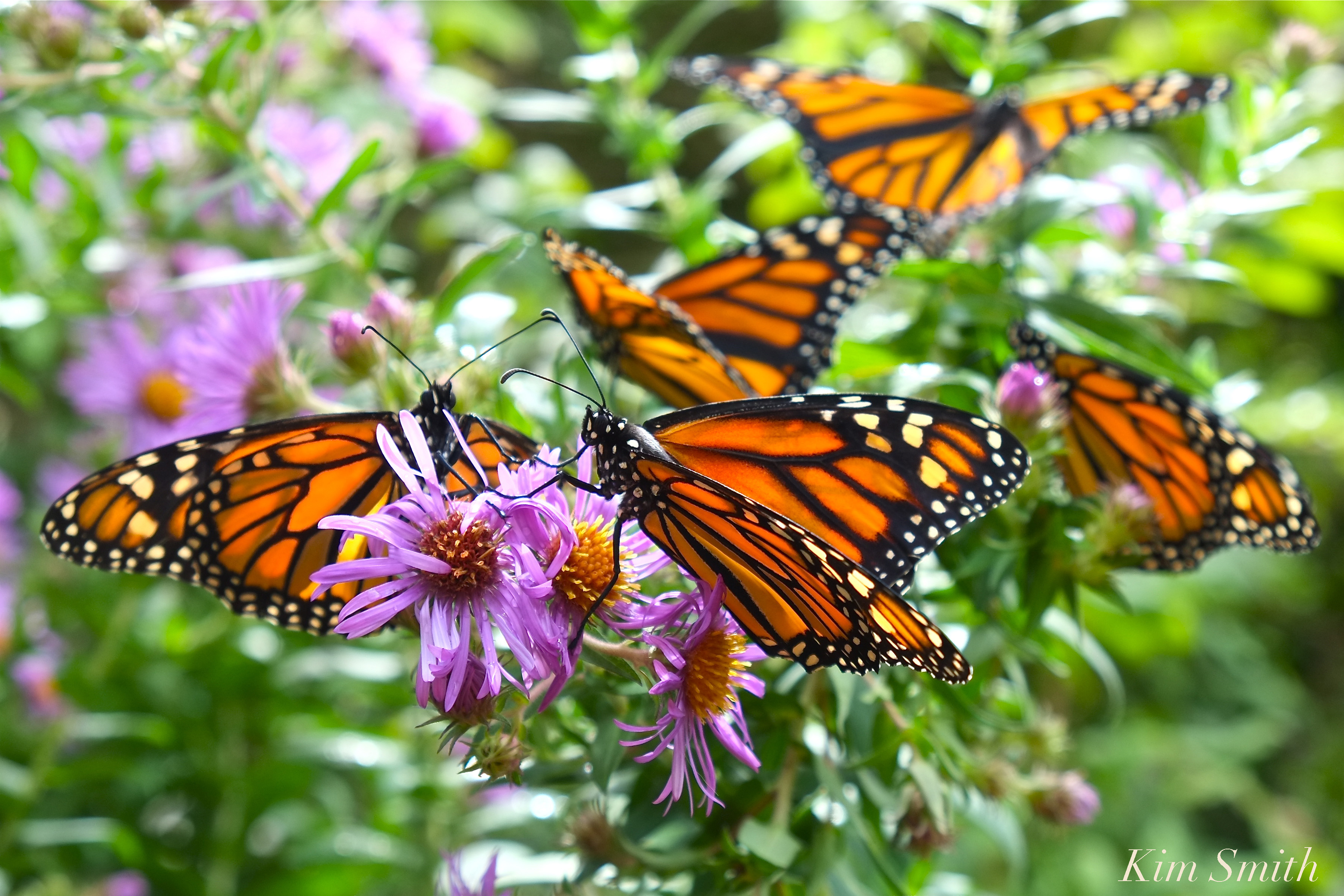 Monarch butterfly population count 2019-2019 | Beauty on ...
