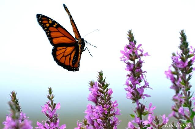 Monarch Butterflies Purple Loosestrife Lythrum salicaria copyright Kim Smith - 11