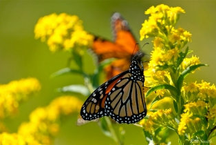 Monarch Butterflies Seaside Goldenrod copyright Kim Smith - 02