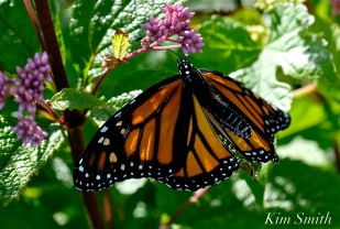 Monarch Butterfly Female Joe-pye Wildflower copyright Kim Smith