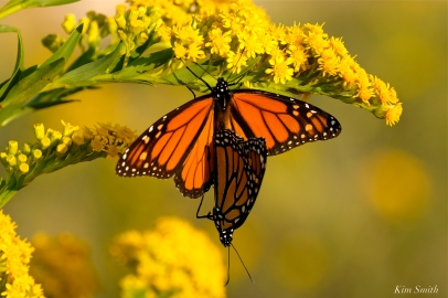 Monarch Butterflies Mating September Seaside Goldenrod copyright Kim Smith - 2