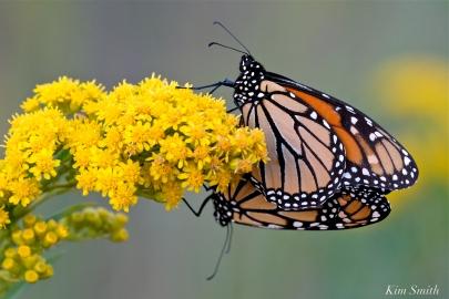 Monarch Butterflies Mating September Seaside Goldenrod copyright Kim Smith - 4
