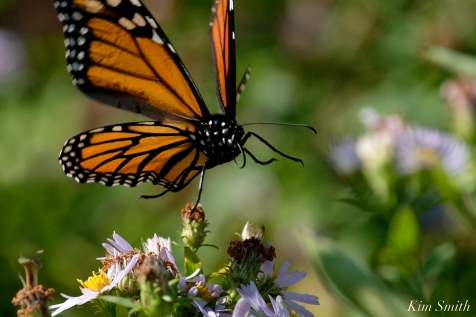 Monarch Butterfly Late Blooming Aster copyright Kim Smith