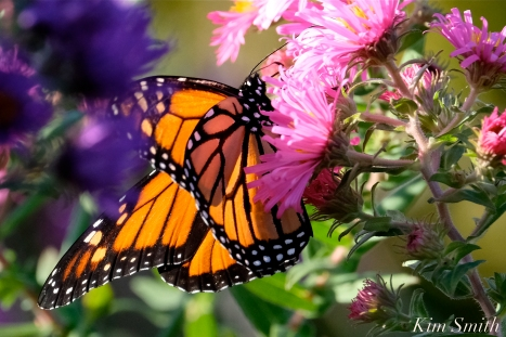 Monarch Butterfly New England Aster copyright Kim Smith
