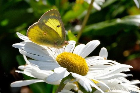 Yellow Sulphur Bee Montauk Daisy copyright Kim Smith