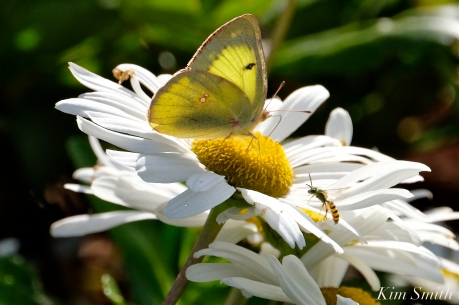 Yellow Sulphur Montauk Daisy copyright Kim Smith