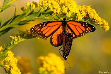 monarch-butterflies-mating-september-seaside-goldenrod-copyright-kim-smith-3-jpg-1