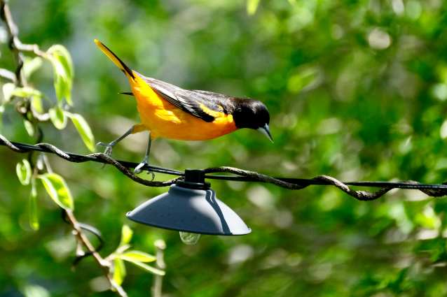 baltimore-oriole-cape-ann-massachusetts-copyright-kim-smith-11-of-18