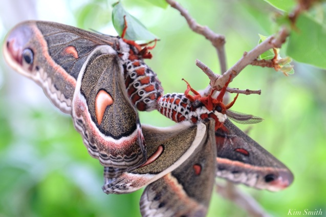 Cecropia Moth Mating Giant Silk Moth copyright Kim Smith - 20 of 22