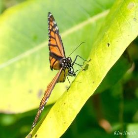Monarch Depsoiting Egg Common Milkweed Essex County copyright Kim Smith - 11 of 16
