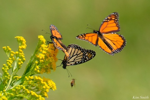 Monarch Mating Essex County copyright Kim Smith - 1 of 16