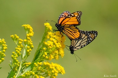 Monarch Mating Essex County copyright Kim Smith - 2 of 16