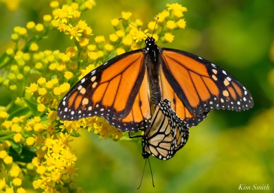 Monarch Mating Essex County copyright Kim Smith - 3 of 16