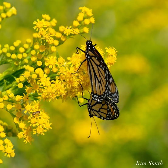 Monarch Mating Essex County copyright Kim Smith - 5 of 16